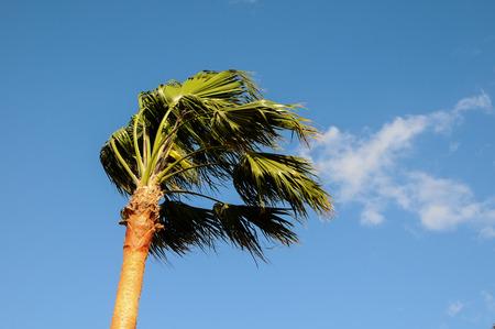 カナリア諸島スペイン tenerife のつの風に吹かれてヤシの木