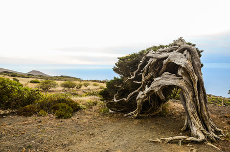 strange mountain: Gnarled Juniper Tree Shaped By The Wind at Sabinar, Island of El Hierro Stock Photo