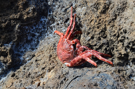 Red Crab Climbing the Black Volcanic Rocks
