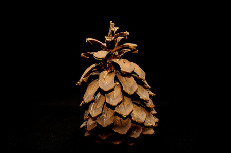 ponderosa: Pinus Ponderosa Pine Tree Pinecone on a Black Background Stock Photo