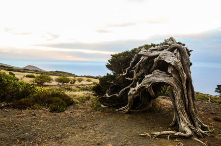 strange mountain: Gnarled Juniper Tree Shaped By The Wind at El Sabinar, Island of El Hierro Stock Photo