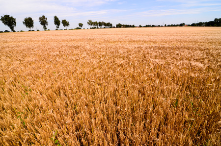 Textured Wheat Field at Europen Countryside in Germany photo