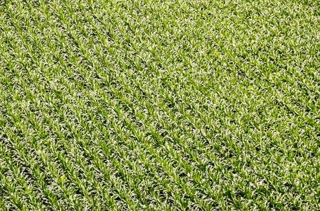 European OGM Growing Green Corn Field Texture Background photo