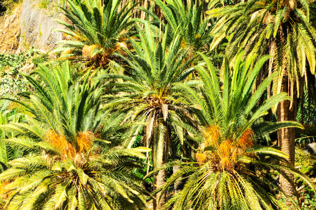 canarian: Tropical Canarian Green Palm Leaf Background in Summer Stock Photo