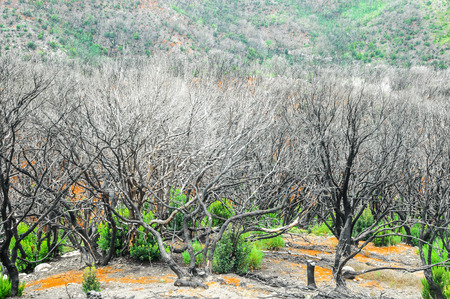 Effects of the Fire in a Forest, in Canary Islands, Spain photo