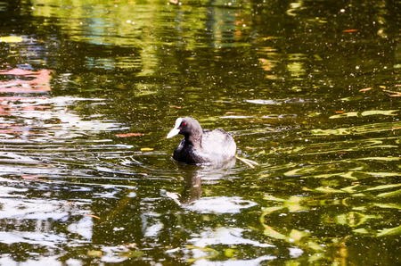 Duck Swimming in a Green Water River. photo