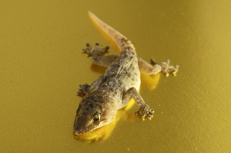 Small Gray Gecko Lizard on a Colored Background photo