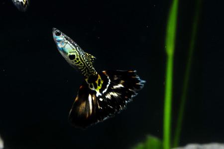 poecilia: Guppy Multi Colored Fish in a Tropical Acquarium