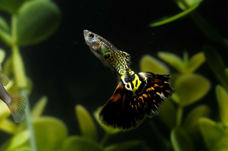 acquariofilia: Guppy Multi Colored Fish in a Tropical Acquarium