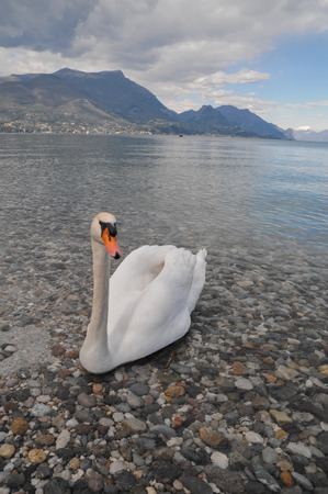 Noble White Swan in the Water Surface photo