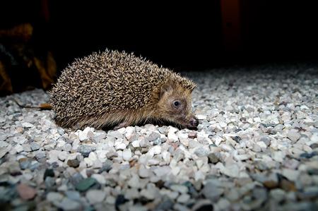 West European Hedgehog Wild Mammal (Erinaceus Europaeus) photo
