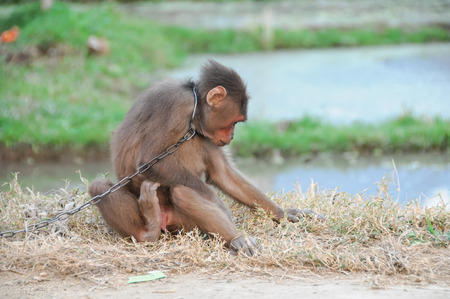 Young Brown Monkey in Chains in Vietnam photo