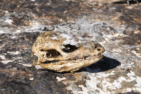 Canarian Dry Lizard Skull Bone in the Desert photo