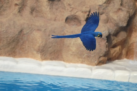 Blue Colored Tropical Parrot Bird in Flight photo