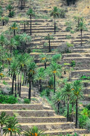 canarian: Tropical Canarian Green Palm Leaf in Summer