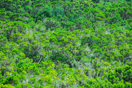 wild canary: Wild Forest Pine Tree Leaves Texture In La Gomera Canary Islands