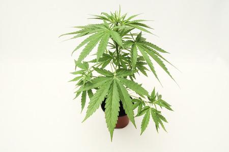 Jonge groene blad cannabis Indica plant marihuana