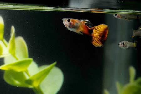 Guppy Multi Colored Fish in a Tropical Acquarium photo