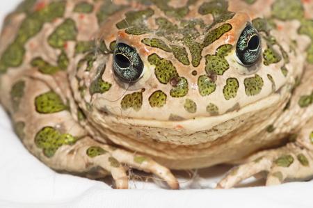Big Ugly Frog Common European Toad Bufo photo
