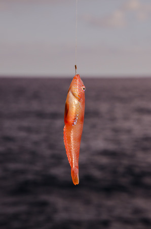 hooked: One Sea Fish Hooked over the Blue Atlantic Ocean