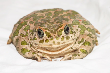 Big Ugly Frog Common European Toad Bufo photo