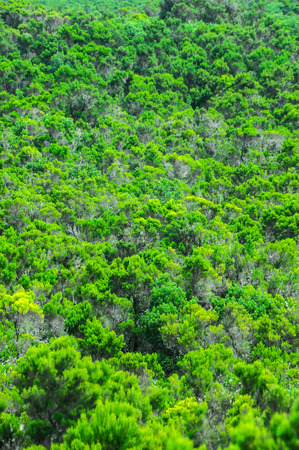 wild canary: Wild Forest Pine Tree Leaves Texture Background In La Gomera, Canary Islands