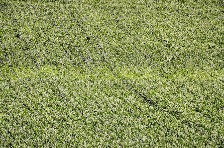 mais: European OGM Growing Green Corn Field Texture Background