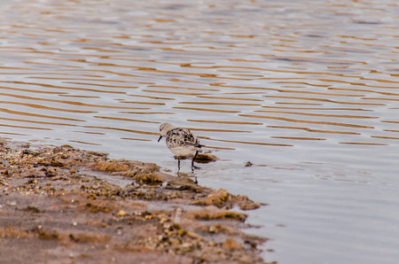 plover: One Adult Kentish Plover Water Bird near a Beach Stock Photo