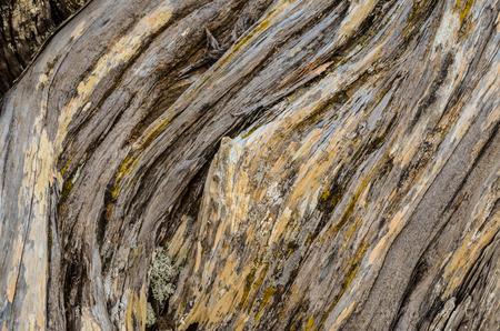 gnarled: Tronco Textura de nudoso �rbol del enebro formado por el viento en El Sabinar, Isla de El Hierro