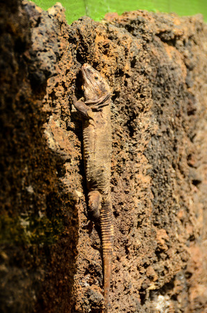 lacertidae: El Hierro Typical Lizard Tizon Gallotia Simonyi Canary Island Stock Photo