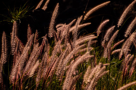 Golden Ears of Wheat on the Field photo