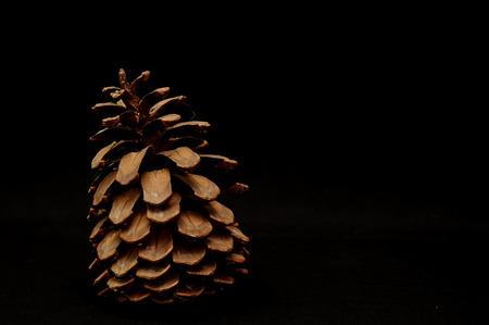 ponderosa pine: Pinus Ponderosa Pine Tree Pinecone on a Black Background Stock Photo