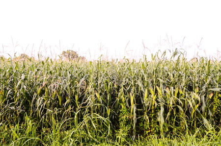 mais: Growing Green Corn Field Culture in North Italy Stock Photo