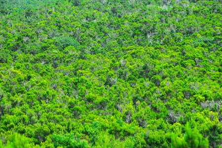 wild canary: Wild Forest Pine Tree Leaves Texture Background In La Gomera Canary Islands