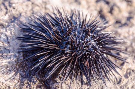 Sea Urchin on Rock Near Ocean Background photo