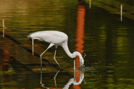 Great White Egret (Ardea Alba) fishing in the Water of a Temple in Japan photo