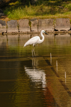 ardea: Great White Egret (Ardea Alba) fishing in the Water of a Temple in Japan Stock Photo