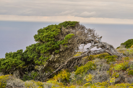juniper: Gnarled Juniper Tree Shaped By The Wind at El Sabinar, Island of El Hierro Stock Photo