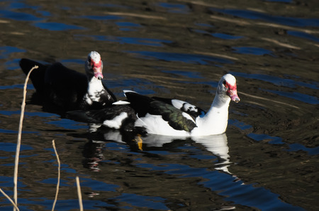 muscovy duck: Muscovy Duck (Cairina moschata) on a Dark Black Water