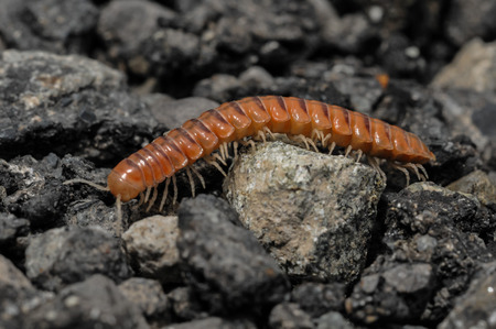 segmented bodies: Closeup of one Red Brown Centipede on the Floor Stock Photo