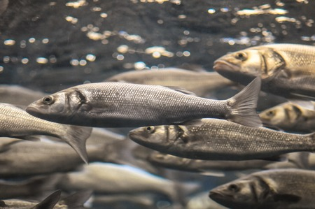 Underwater School of Silver Gray Fish in Aquarium photo