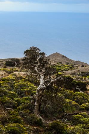 gnarled: Nudoso �rbol del enebro formado por el viento en El Sabinar, Isla de El Hierro