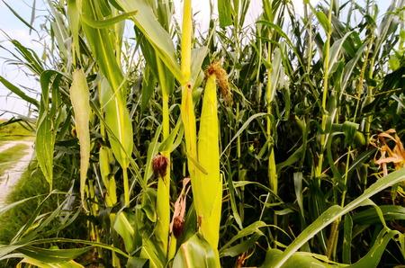 planta de maiz: Crecimiento de ma�z verde Campo Cultura en el norte de Italia Foto de archivo