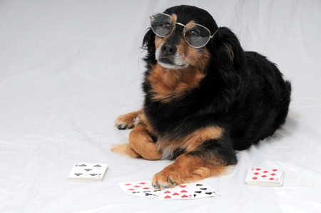 One Smart Old Black Dog Playing Poker On a White Background photo