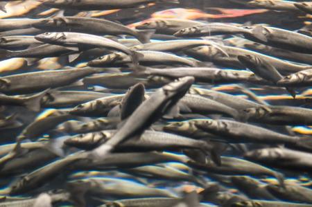 salmon migration: Underwater School of Silver Gray Fish in Aquarium
