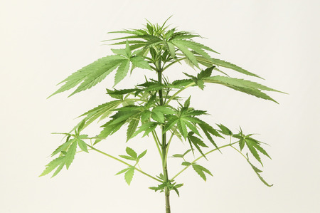 Young Green Leaf Cannabis Indica Plant Marijuana photo
