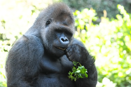 hairy back: Strong Adult Black Gorilla on the Green Floor