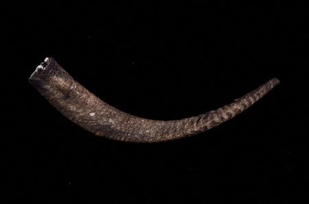 cabra: Var�n adulto Cuerno de Cabra en un fondo Negro Foto de archivo