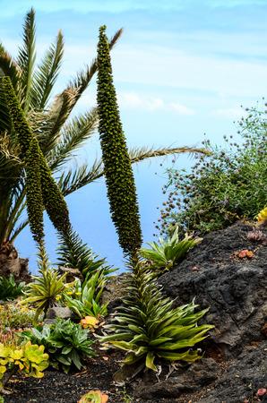 cactus flower: Green Succulent Flower of a Cactus Plant Tajinaste Echium Stock Photo
