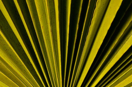 canarian: Tropical Canarian Green Palm Leaf in Summer